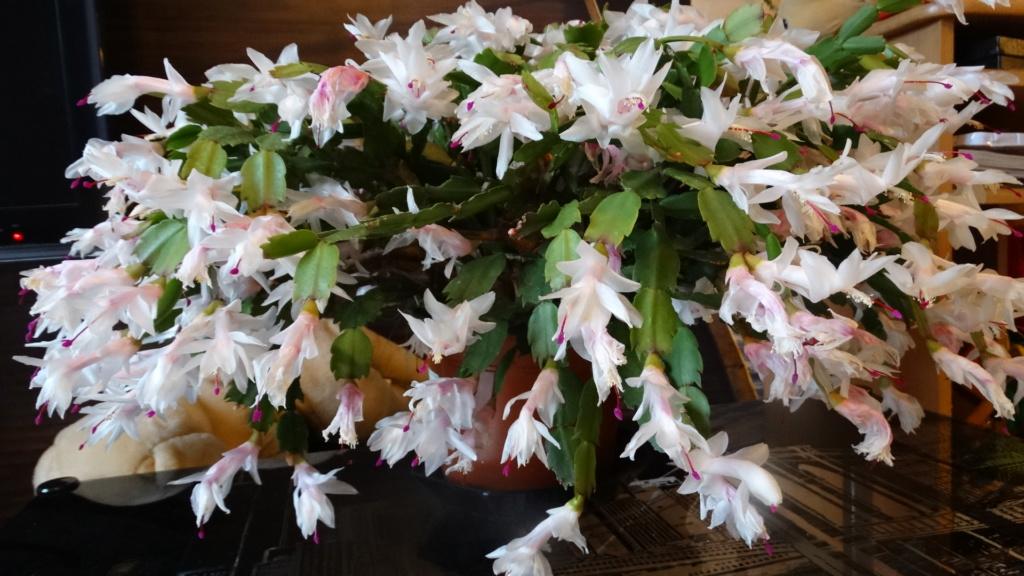 mon cactus de noel Dsc03610