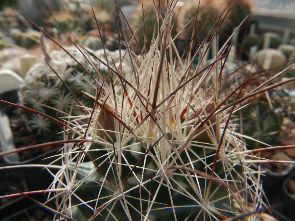 Coryphantha ramillosa Coryph27