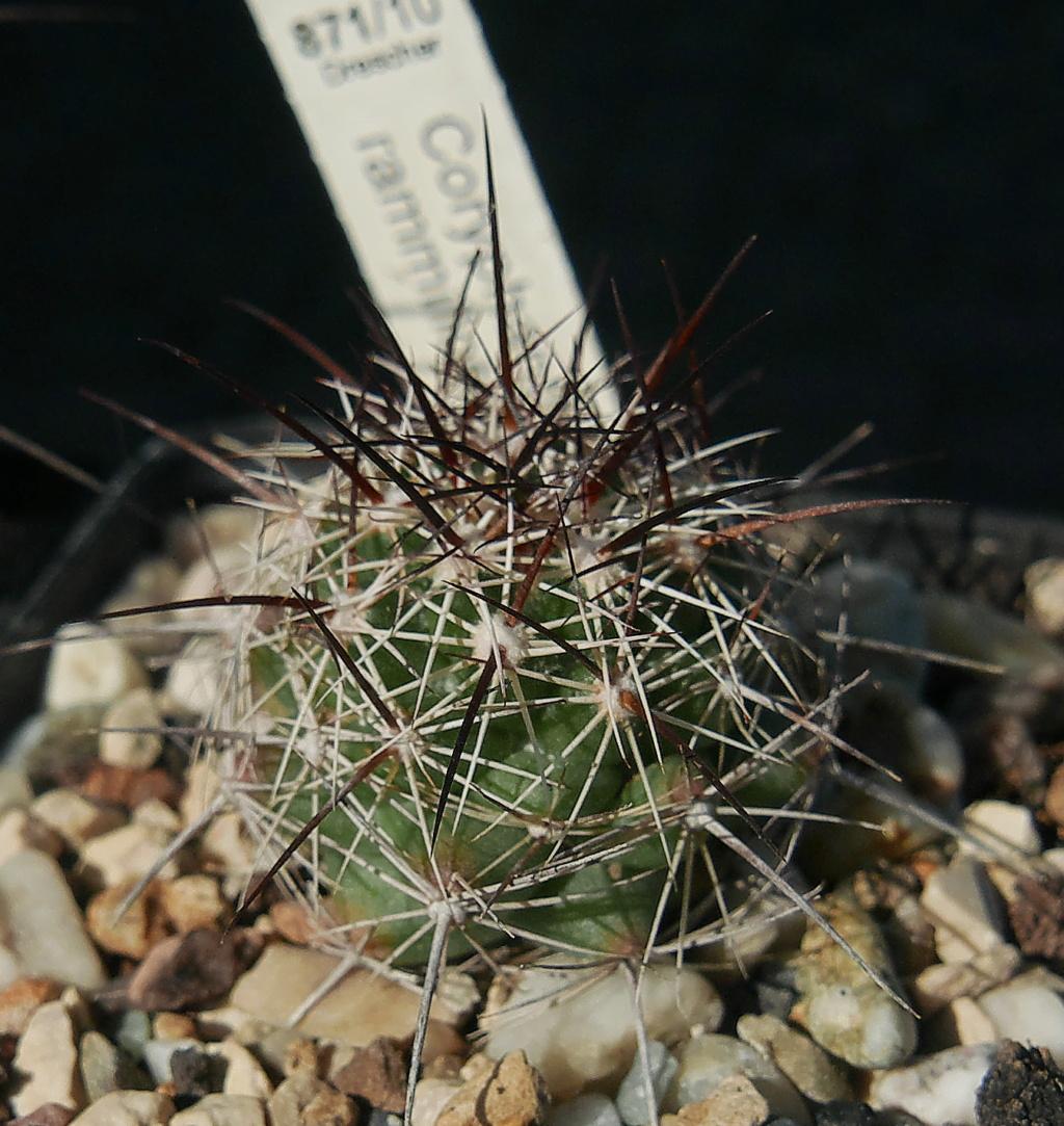 Coryphantha ramillosa Coryph28