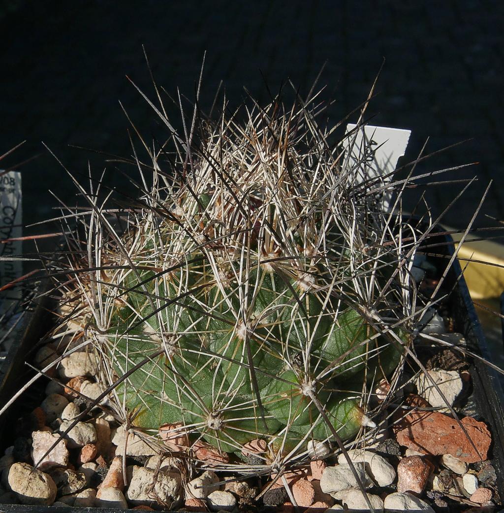 Coryphantha ramillosa Coryph29