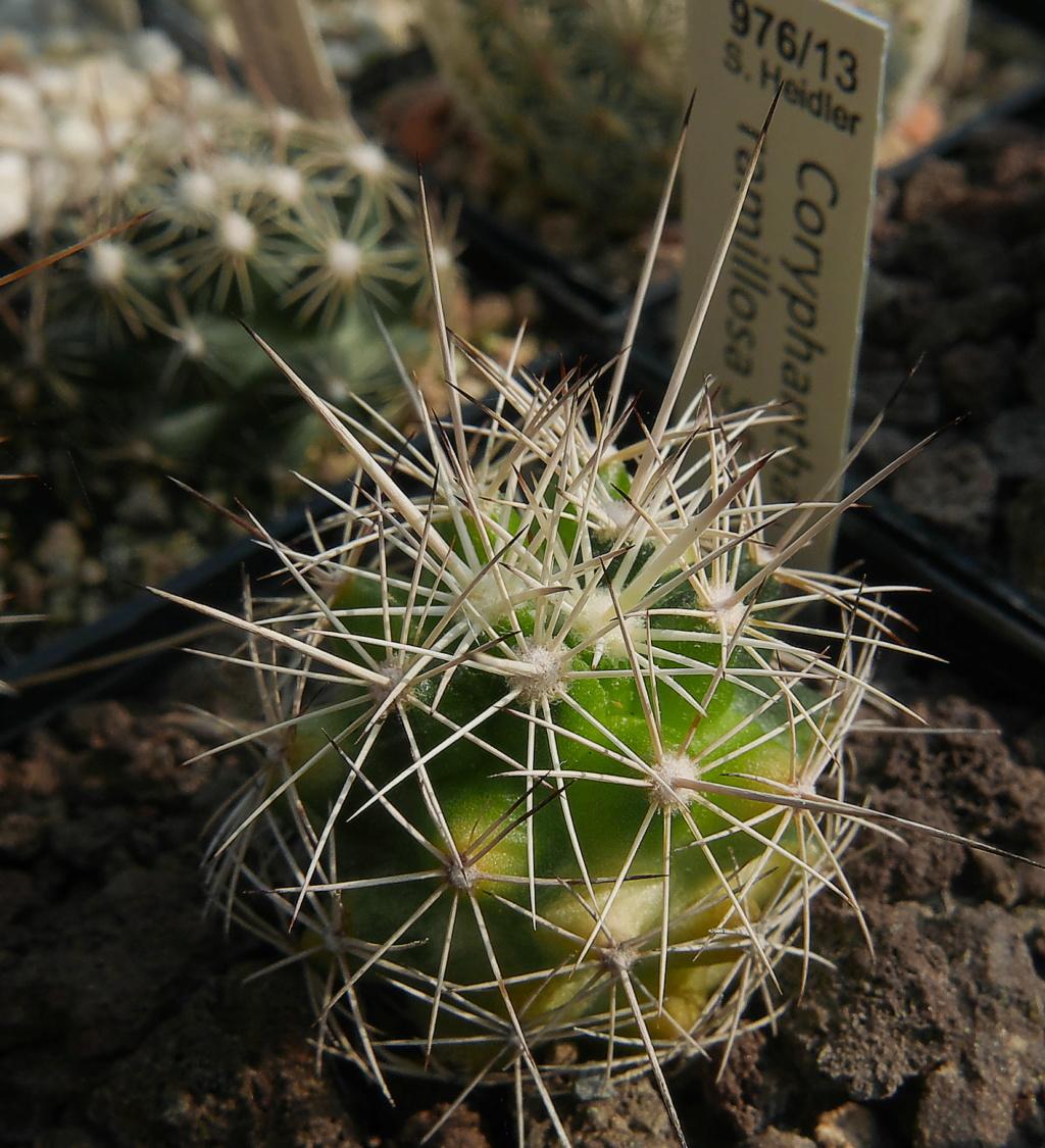 Coryphantha ramillosa Coryph31