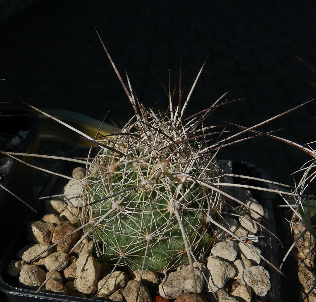 Coryphantha ramillosa Coryph32