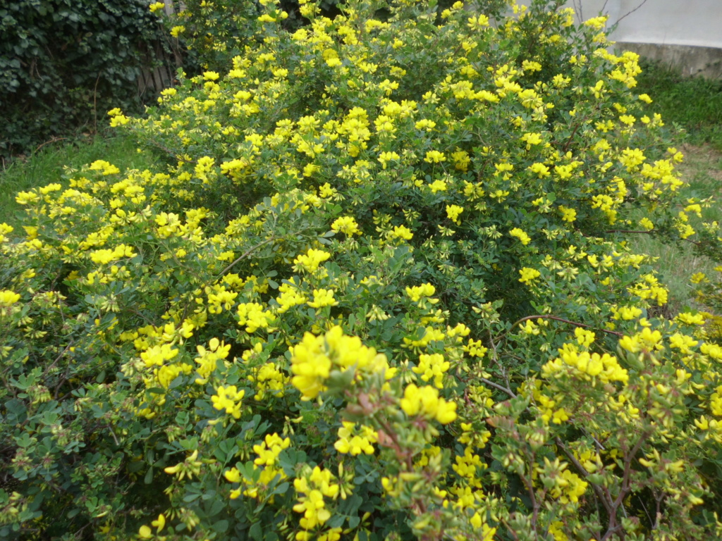 la coronille arbustive Coroni10
