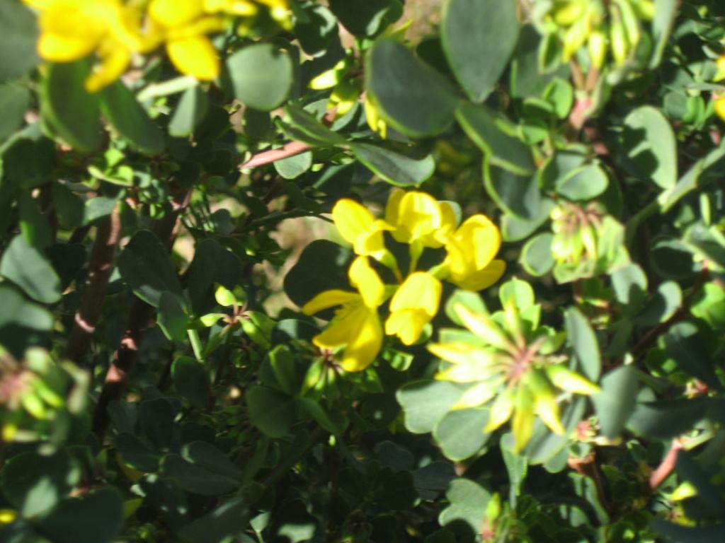 la coronille arbustive Coroni11