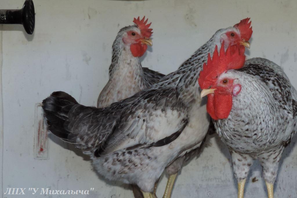 Борковская барвистая порода яичних кур - Страница 10 -0507-11