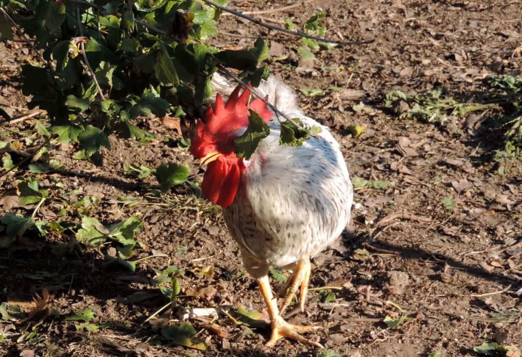 Борковская барвистая порода яичних кур - Страница 10 -0711-11