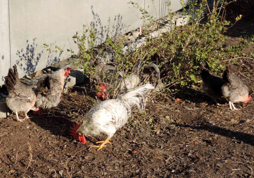 Борковская барвистая порода яичних кур - Страница 10 -0711-15