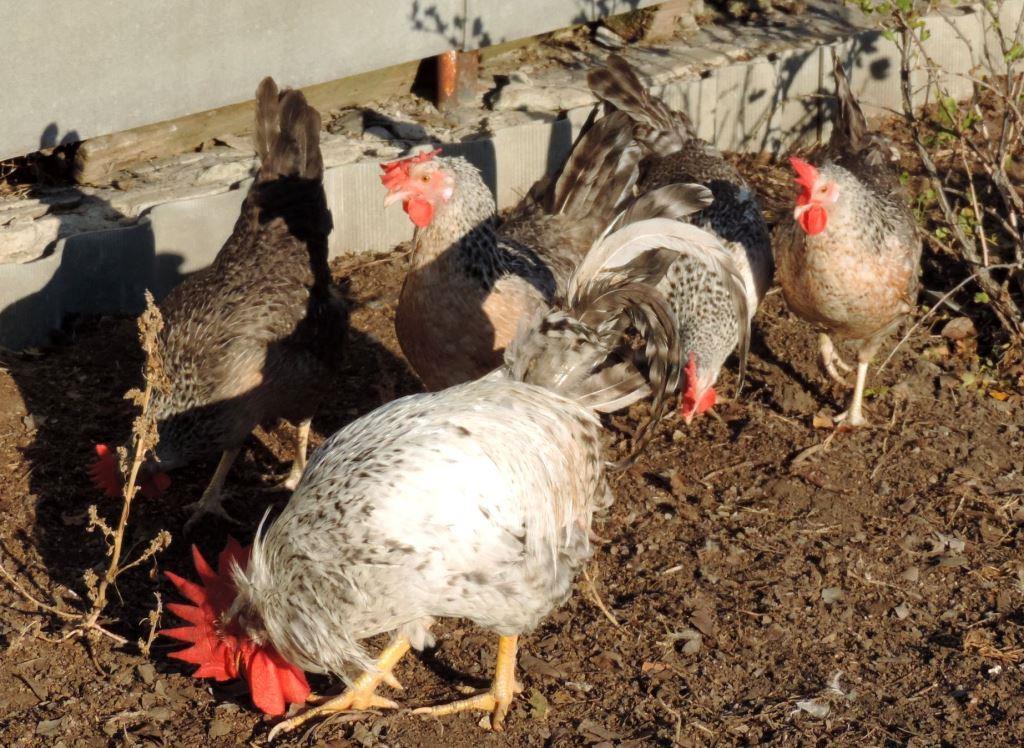 Борковская барвистая порода яичних кур - Страница 10 -0711-20