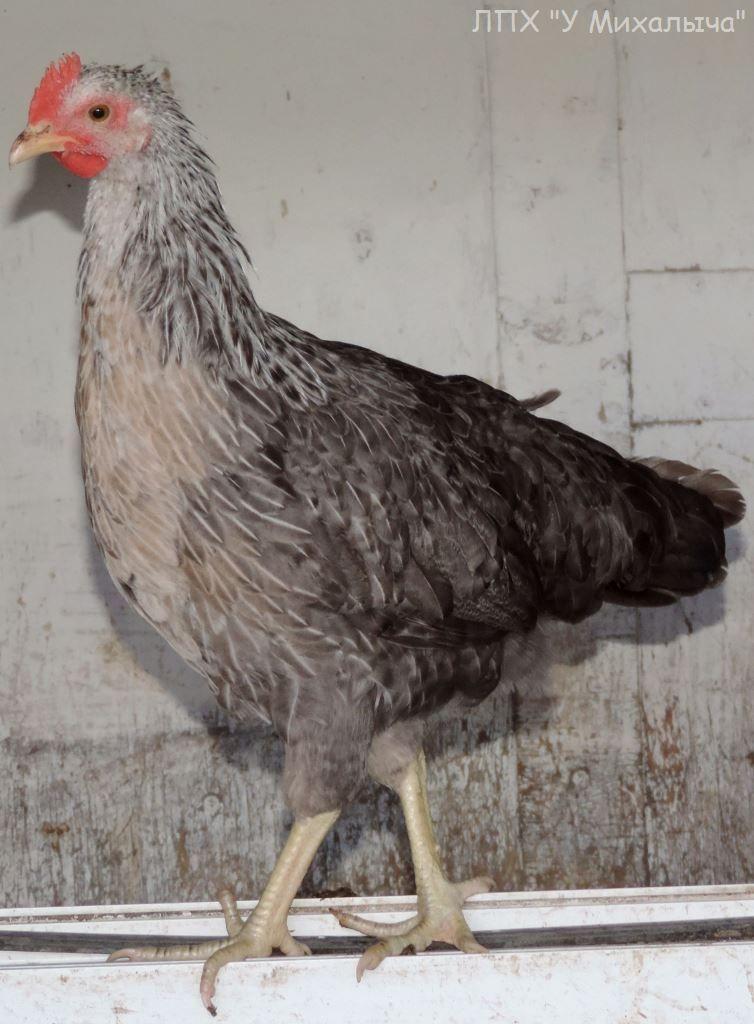 Борковская барвистая порода яичних кур - Страница 10 -0807-10