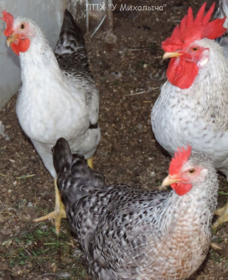 Борковская барвистая порода яичних кур - Страница 10 -0807-12