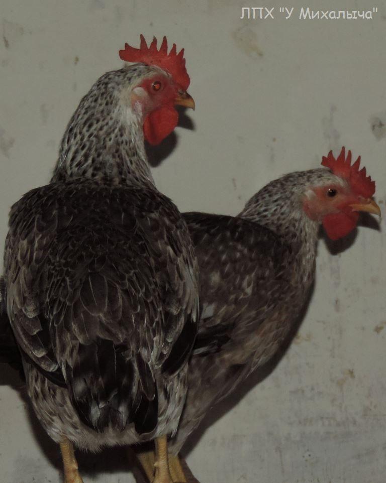 Борковская барвистая порода яичних кур - Страница 10 -2306-10