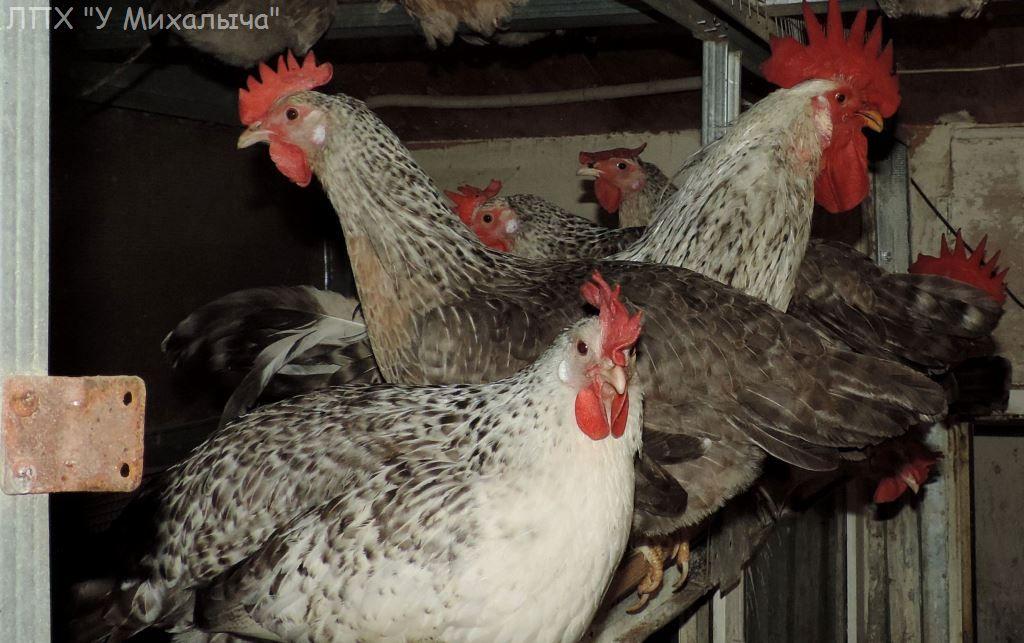 Борковская барвистая порода яичних кур - Страница 10 -2310-10