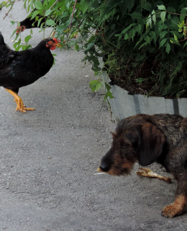 Карликовая дрезденская порода кур, Dresden bantam chickens 00910