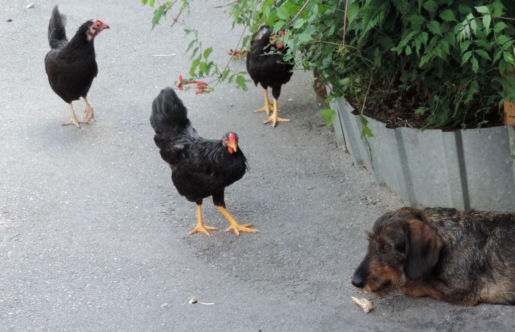 Карликовая дрезденская порода кур, Dresden bantam chickens 01210
