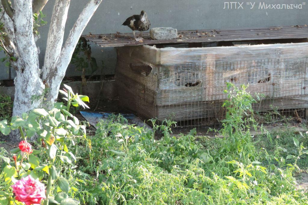 Мускусные утки (индоутки) - ч.6 - Страница 11 0126