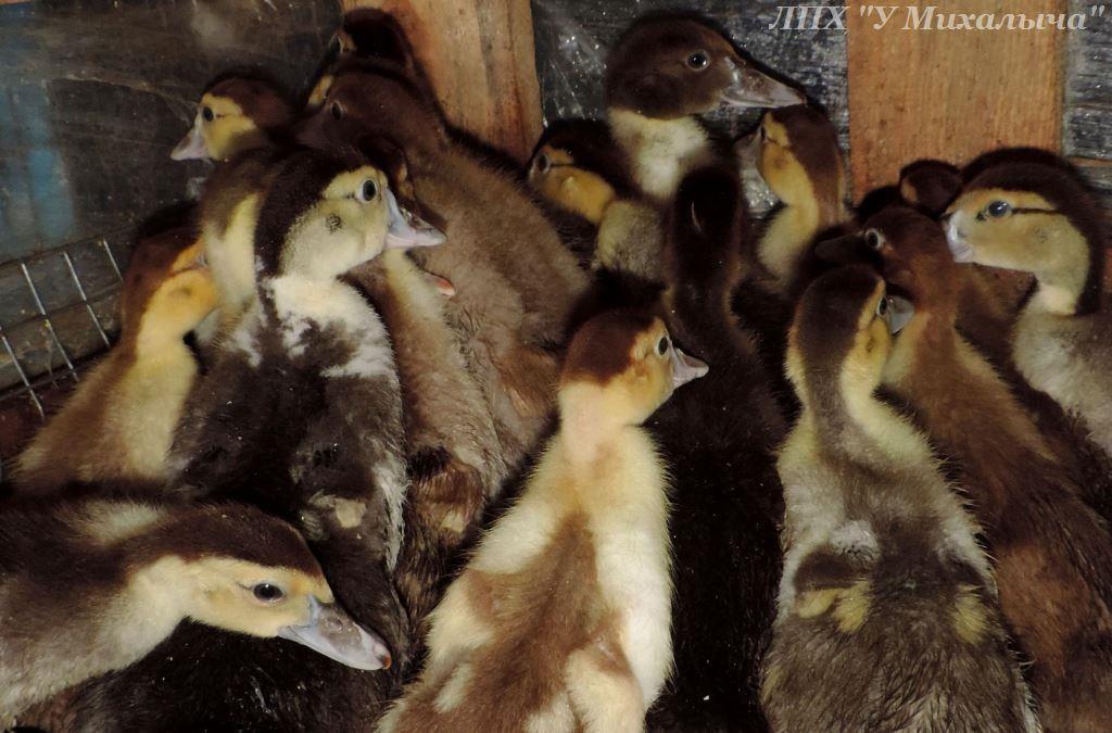 Мускусные утки (индоутки) - ч.6 - Страница 11 0221