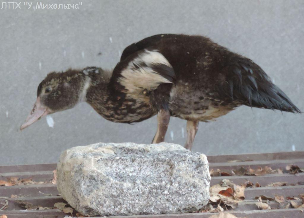 Мускусные утки (индоутки) - ч.6 - Страница 11 0226