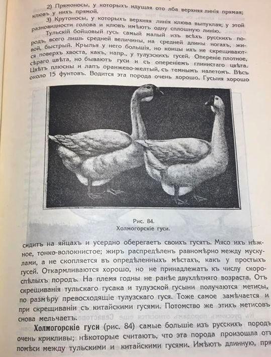Гуси холмогорской породы - Страница 22 10711