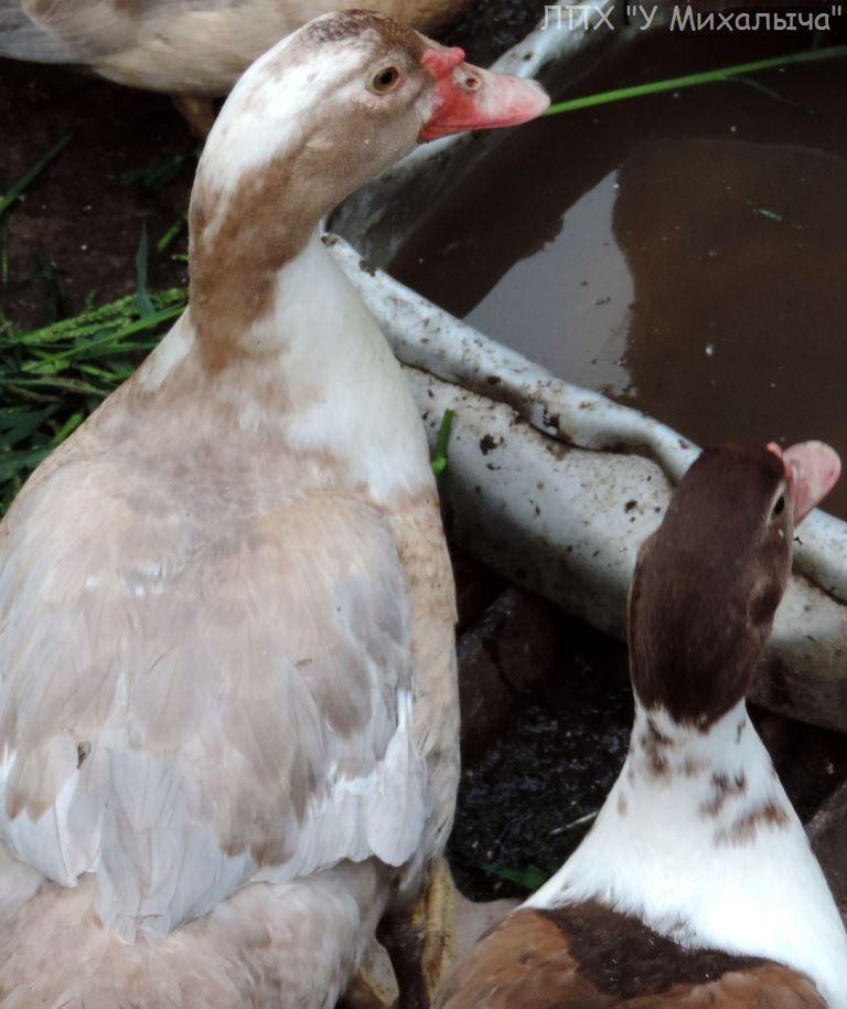 Мускусные утки (индоутки) - ч.6 - Страница 11 2907-014