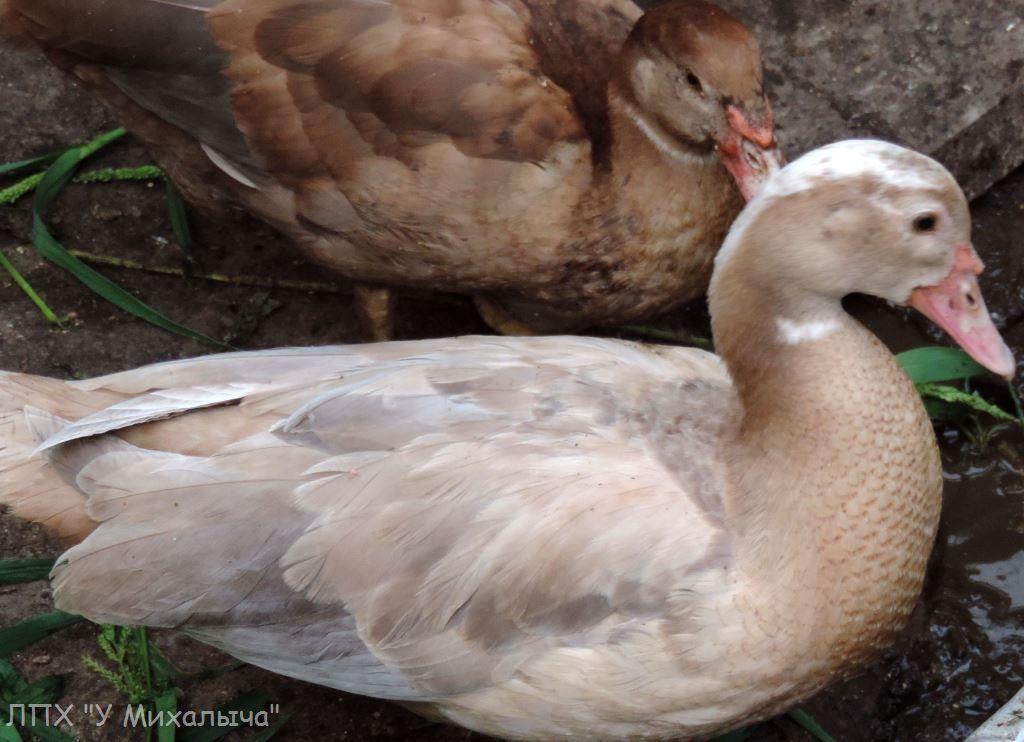 Мускусные утки (индоутки) - ч.6 - Страница 11 2907-015