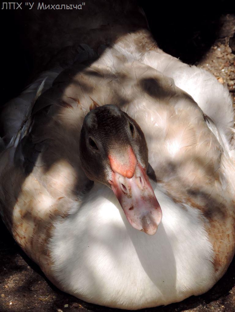 Мускусные утки (индоутки) - ч.6 - Страница 11 411