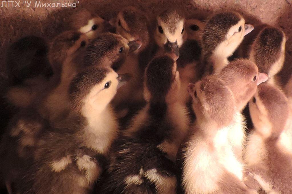 Мускусные утки (индоутки) - ч.6 - Страница 10 Aaaa-214