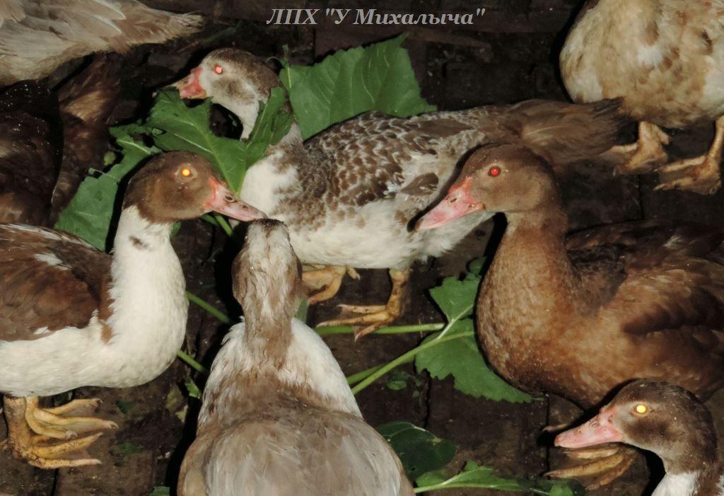 Мускусные утки (индоутки) - ч.6 - Страница 11 Aaaa0410