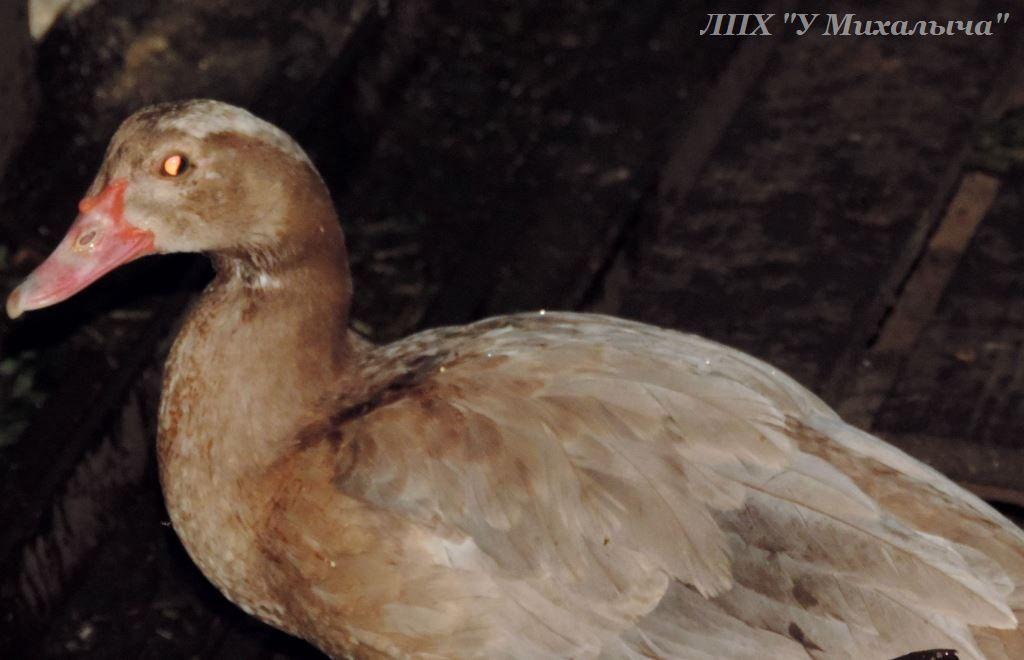 Мускусные утки (индоутки) - ч.6 - Страница 11 Aaaa0610