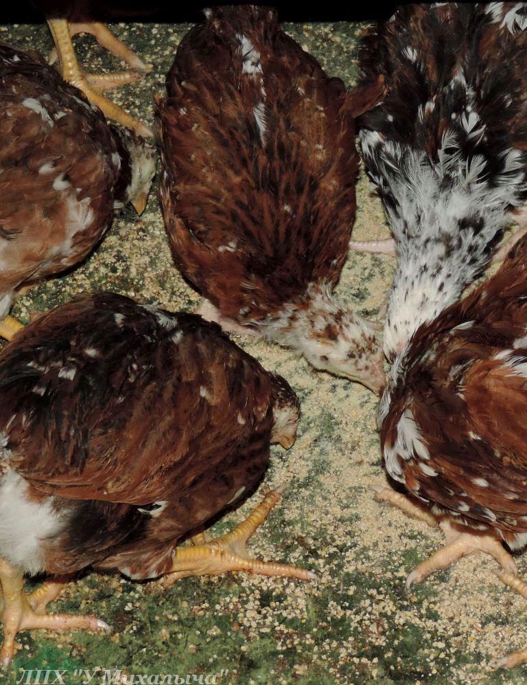 Полтавская ситцевая популяция кур - Страница 5 E-050712
