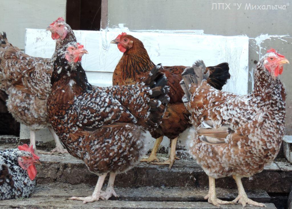 Полтавская ситцевая популяция кур - Страница 5 E-080715