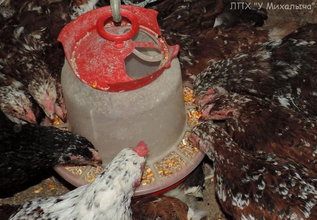 Полтавская ситцевая популяция кур - Страница 5 E-220910