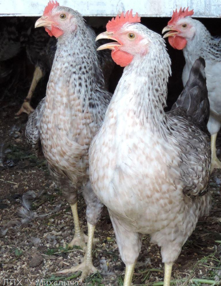 Борковская барвистая порода яичних кур - Страница 10 Ii-17015