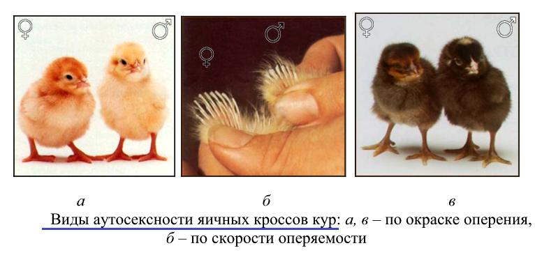 Как определить пол цыпленка - Страница 6 Image_73