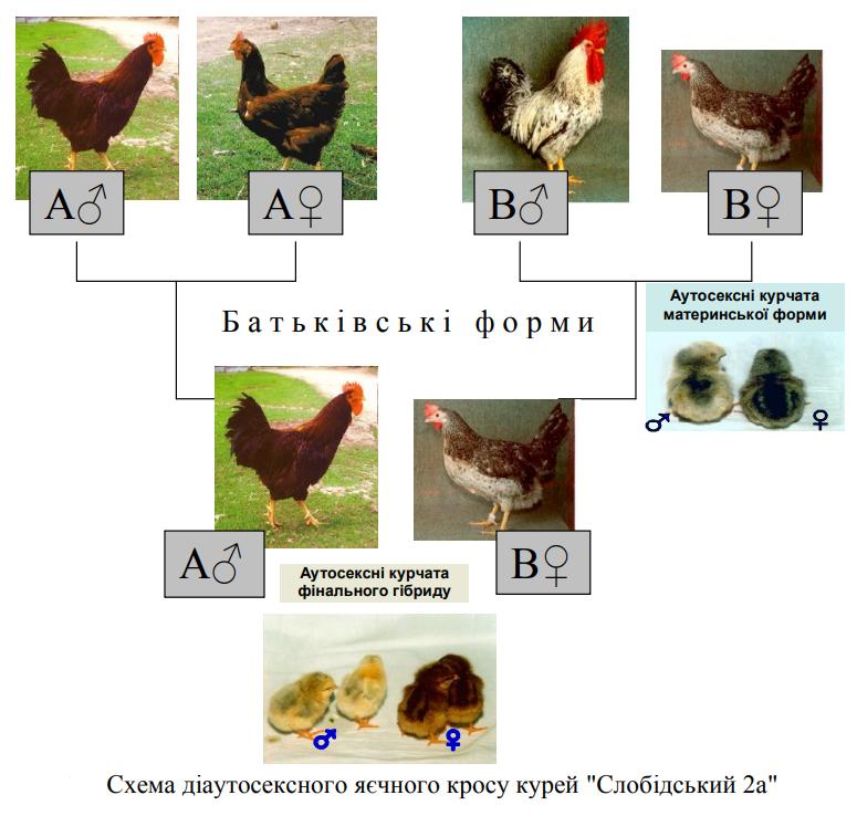 Борковская барвистая порода яичних кур - Страница 10 Image_98
