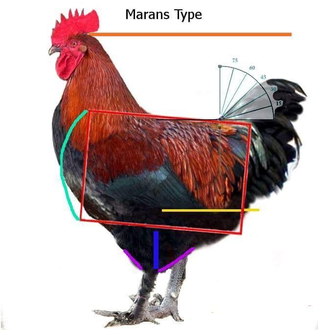Мараны - порода кур, несущие пасхальные яйца - Страница 17 Post-410