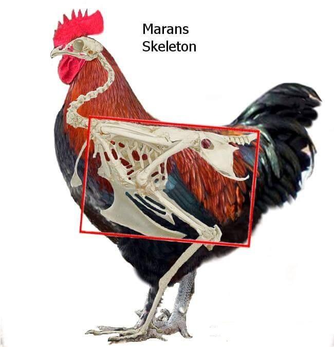 Мараны - порода кур, несущие пасхальные яйца - Страница 17 Post-411