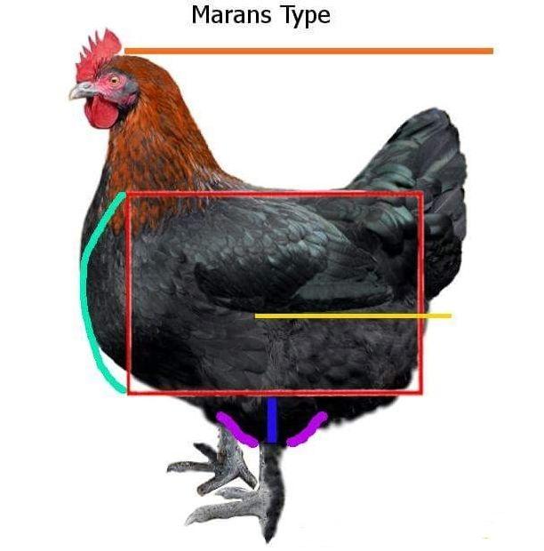 Мараны - порода кур, несущие пасхальные яйца - Страница 17 Post-412