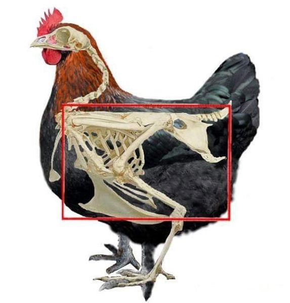 Мараны - порода кур, несущие пасхальные яйца - Страница 17 Post-413