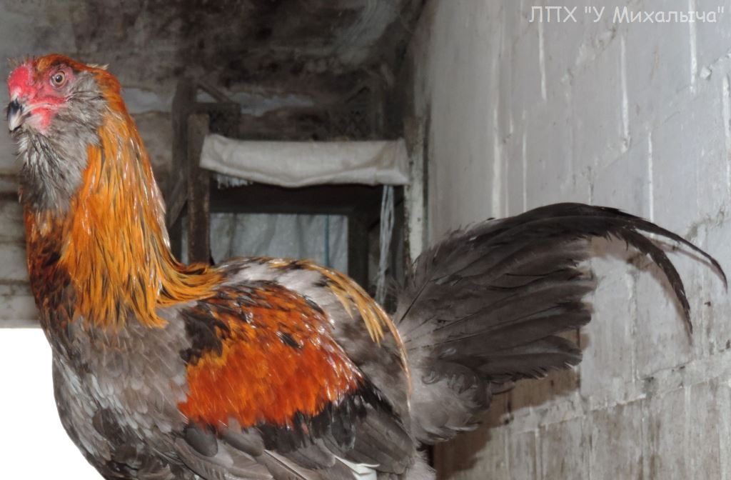 Гилянская порода кур, Gilan breed chickens - Страница 7 S-081210