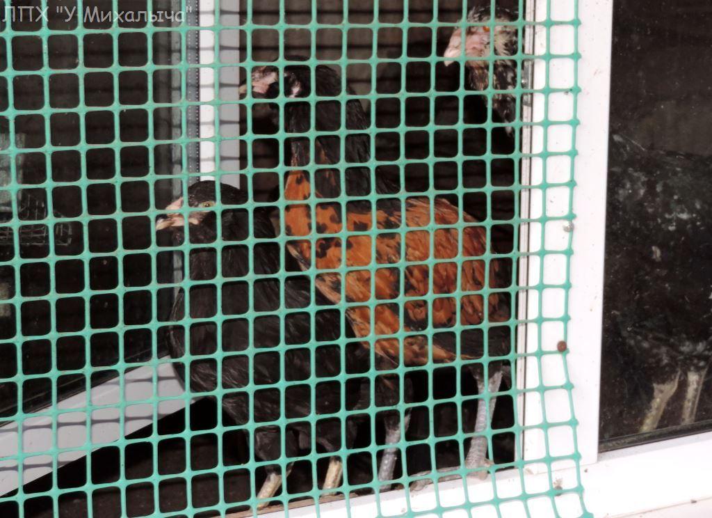 Гилянская порода кур, Gilan breed chickens - Страница 7 S-220925