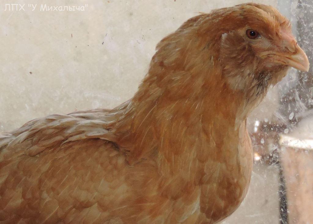 Гилянская порода кур, Gilan breed chickens - Страница 7 S-a-0811