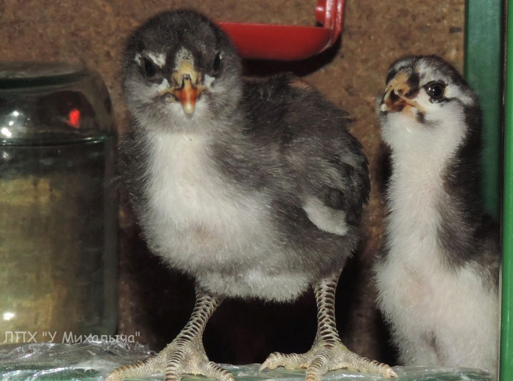 Гилянская порода кур, Gilan breed chickens - Страница 7 S02610