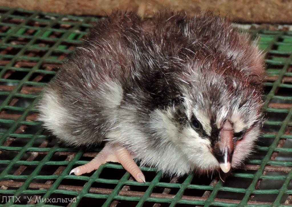 Гилянская порода кур, Gilan breed chickens - Страница 7 S310