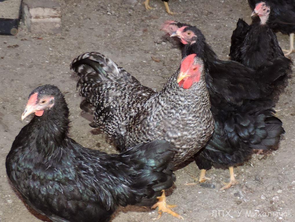 Карликовая дрезденская порода кур, Dresden bantam chickens Sa-05110