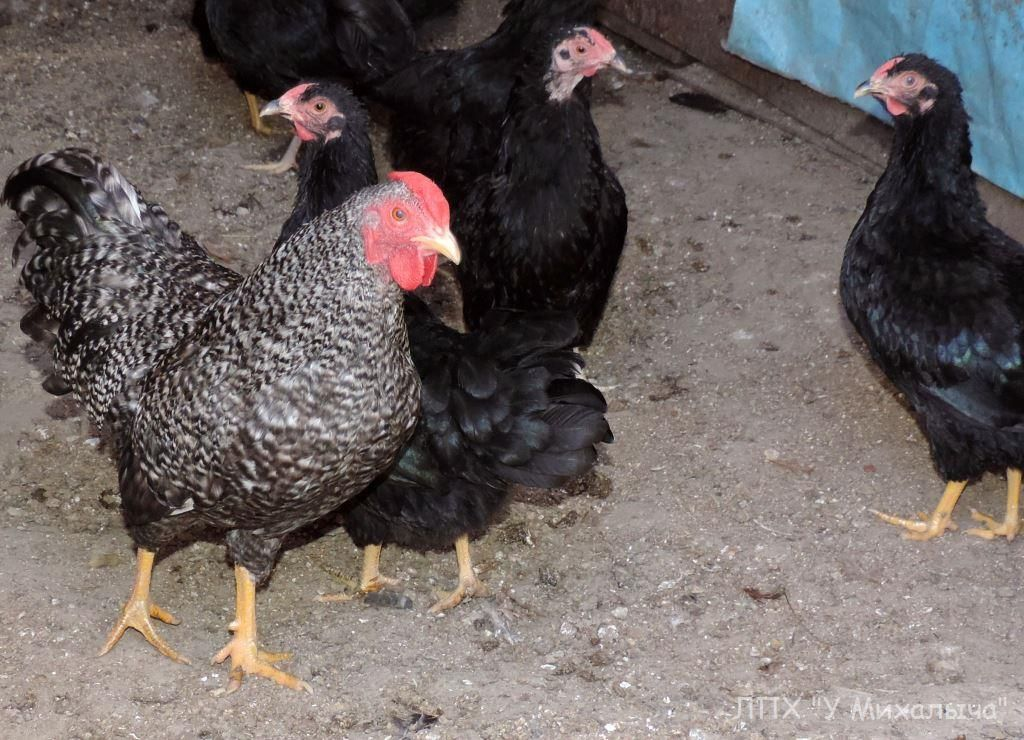 Карликовая дрезденская порода кур, Dresden bantam chickens Sa-05111