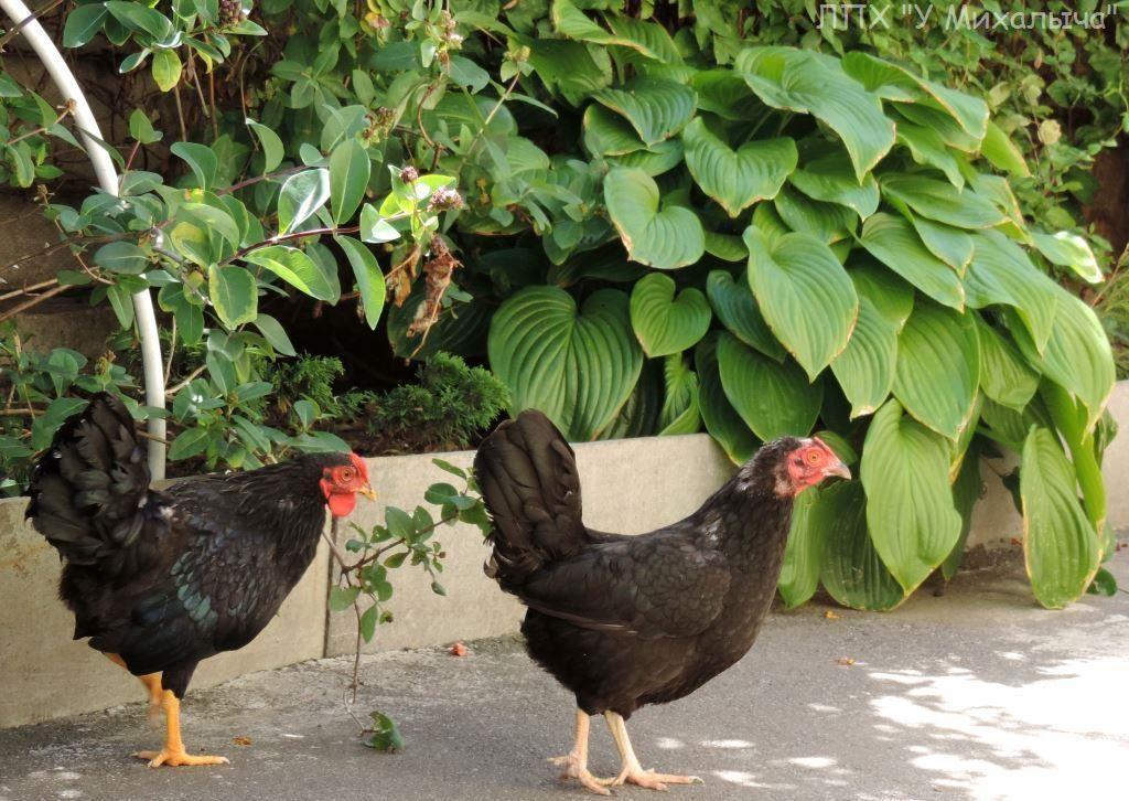 Карликовая дрезденская порода кур, Dresden bantam chickens Sa-08010