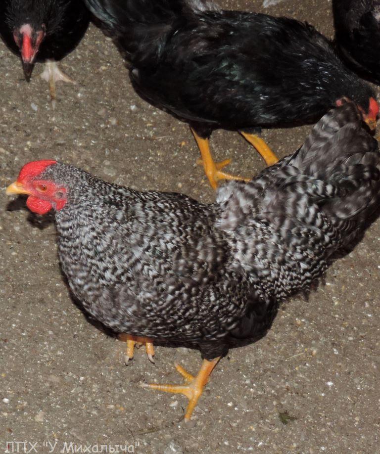 Карликовая дрезденская порода кур, Dresden bantam chickens Sa-14011