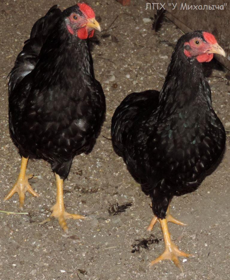 Карликовая дрезденская порода кур, Dresden bantam chickens Sa-25010