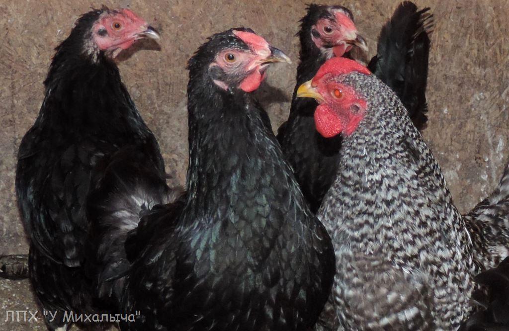 Карликовая дрезденская порода кур, Dresden bantam chickens Sa-25013