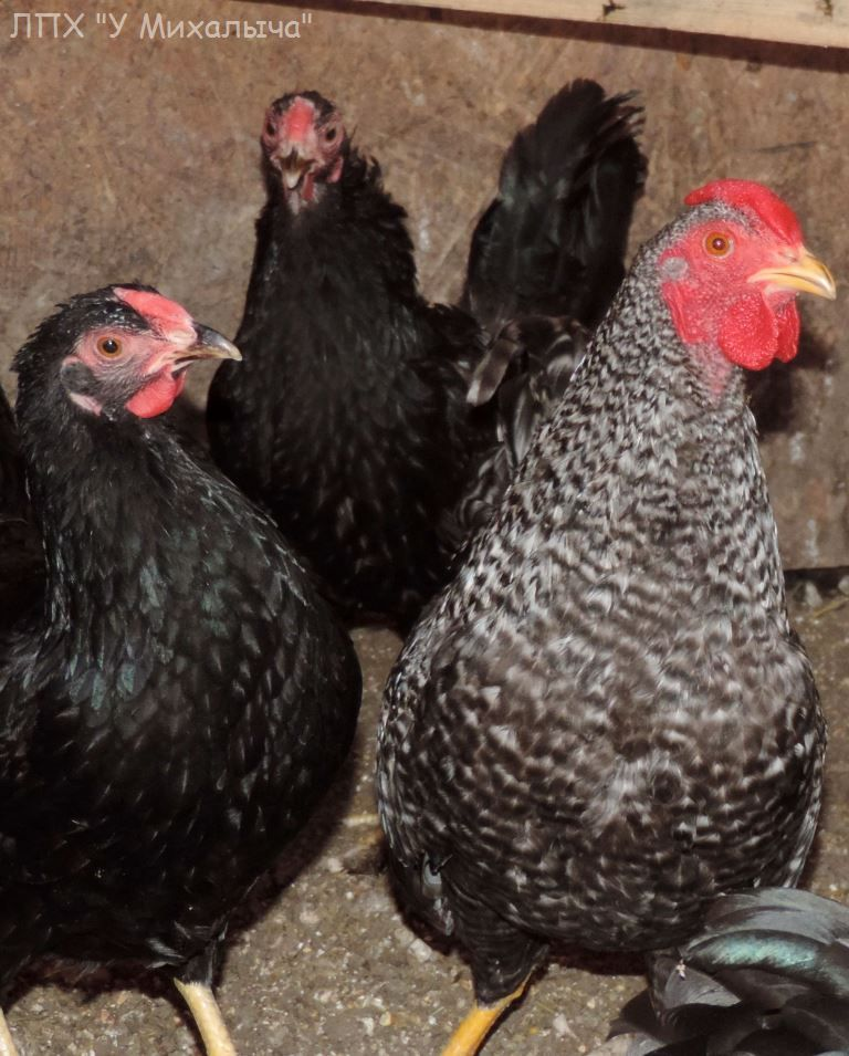 Карликовая дрезденская порода кур, Dresden bantam chickens Sa-28010